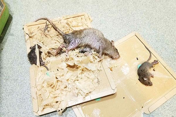ネズミの発生